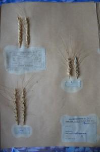 Herbarium specimens of Krymka wheat, Vavilov Research Institute of Plant Industry, St. Petersburg, Russia