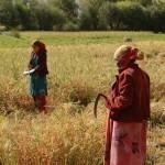 tajik farmers harvesting grain